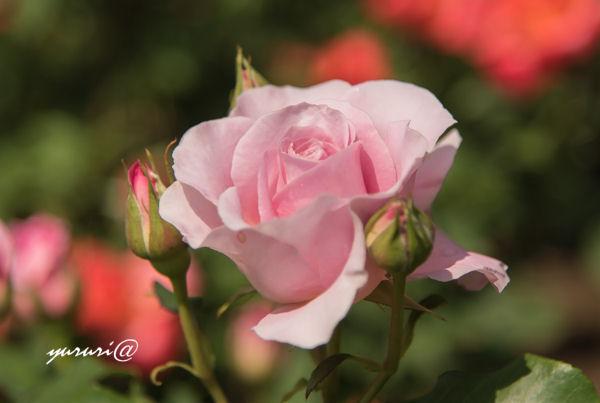 ピンク・フレンチ・レース-1.JPG