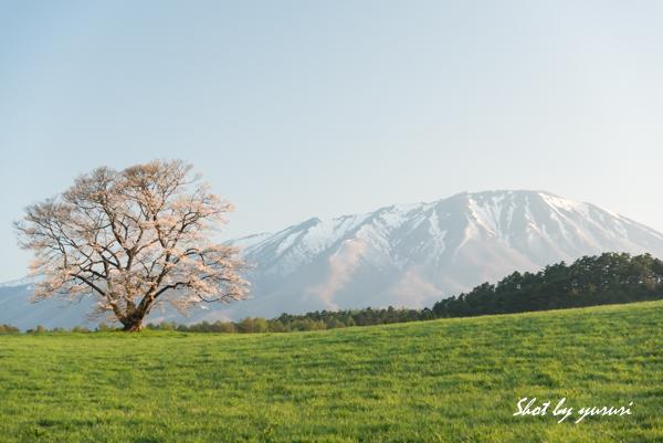 一本桜-34.jpg