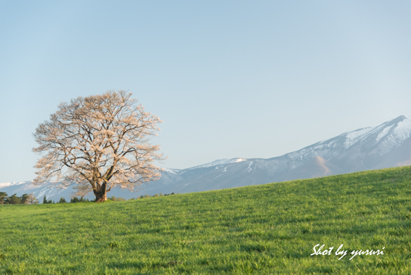 一本桜-35.jpg