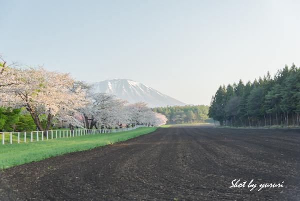 一本桜-36.jpg