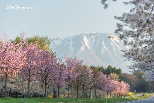 一本桜-38.jpg