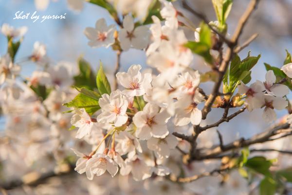 一本桜-40.jpg