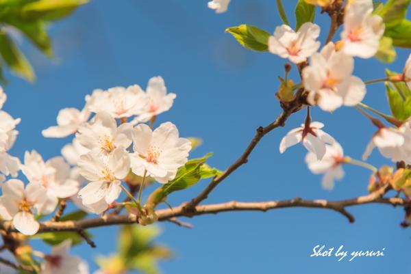一本桜-41.jpg