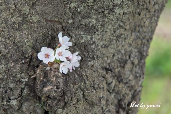 一本桜-42.jpg