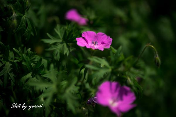 庭の花-13-1.jpg