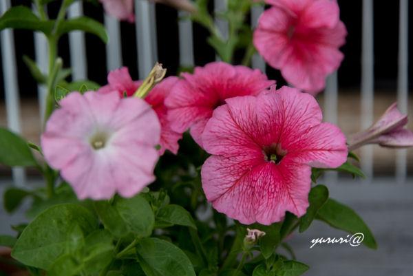 我家の花-3.JPG