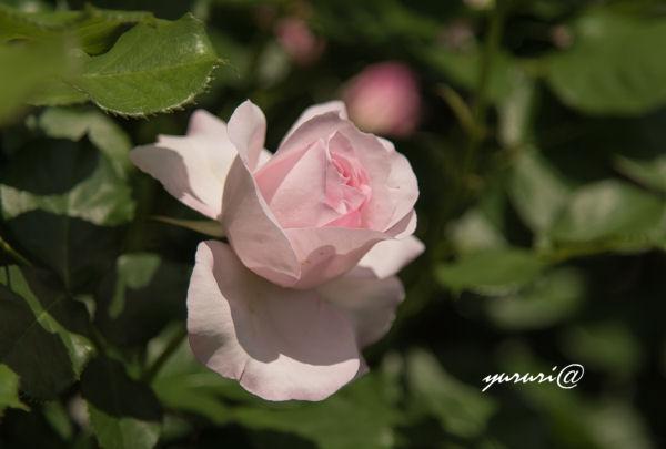 花ぼんぼり-1.JPG
