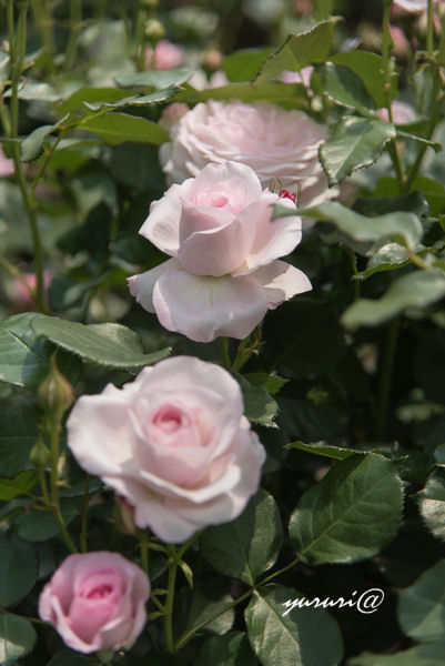 花ぼんぼり-2.JPG