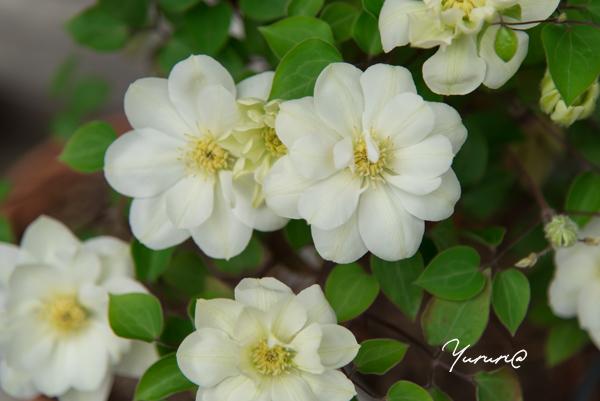 庭の花-10.jpg
