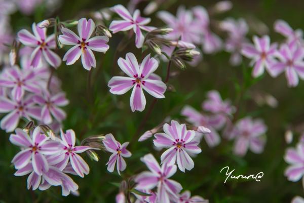 庭の花-2.jpg