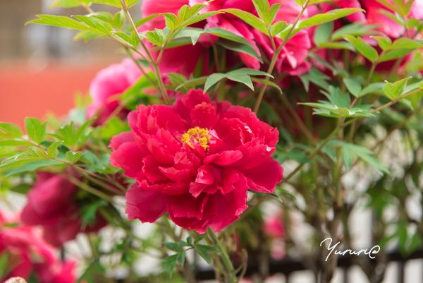 庭の花-8.jpg