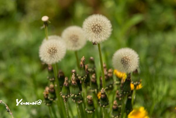 菜の花畑-10.jpg