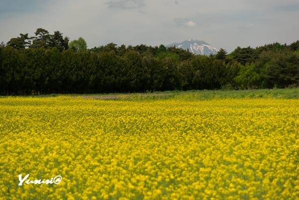 菜の花畑-5.jpg