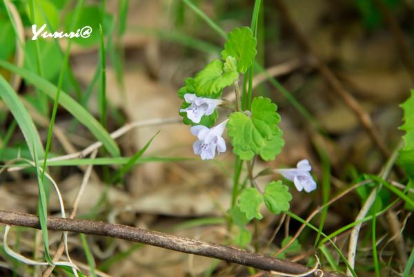 菜の花畑-8.jpg